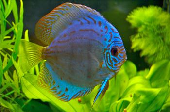 Discus fish aggressive are discus fish aggressive for Aggressive fish for sale